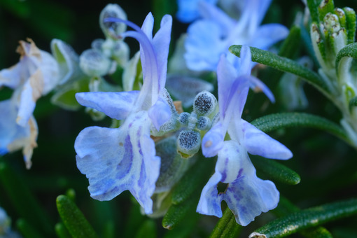 Blue flower of rosemary plant in spring. Macro. - MyVideoimage.com