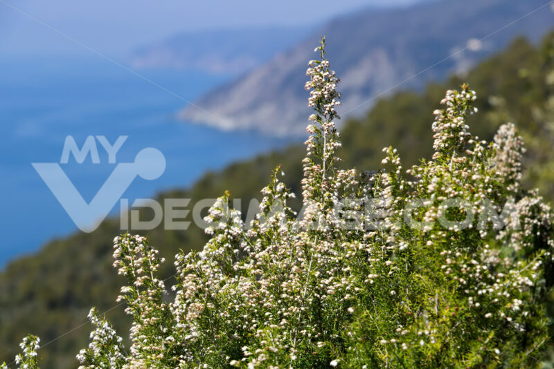 Bonassola, near Cinque Terre, Liguria. Bush of Erica Arborea with the background of the sea of the Five Lands - MyVideimage.com