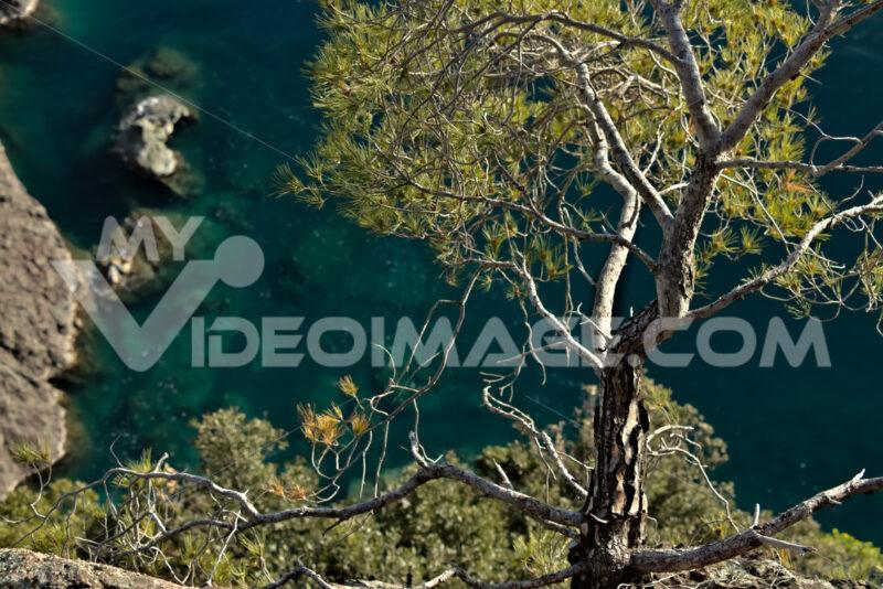Bonassola, near Cinque Terre. A small pine plant on the sea cliffs - MyVideimage.com