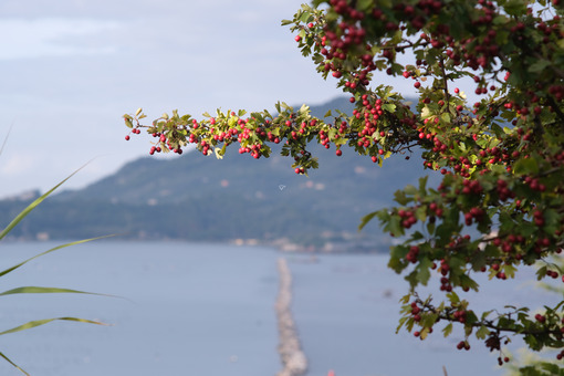 Branch of a bush with red berries. In the background the sea and the hill of Portovenere near the Cinque Terre, La Spezia. - MyVideoimage.com
