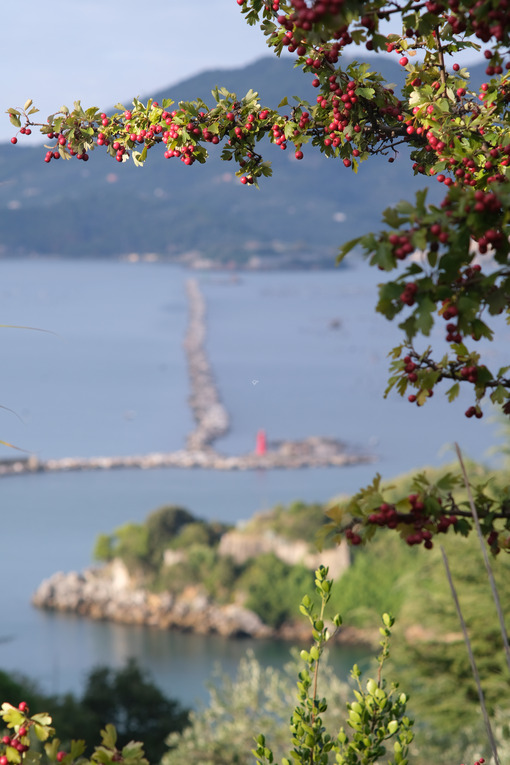 Branch of a bush with red berries. In the background the sea and the hill of Portovenere near the Cinque Terre, La Spezia. - MyVideoimage.com