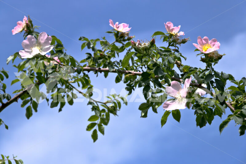 "Branch of flowery ""Rosa Canina""  photographed in the Cinque Terre. Stock foto royalty free. Photos flowers. - LEphotoart.com"