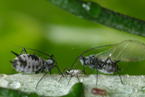 Bug close up. Parasites on the stem of a Mediterranean plant leaf. Stock photos. - MyVideoimage.com | Foto stock & Video footage