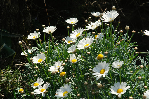 Bush of daisies with white flowers. Flowers in spring. - MyVideoimage.com