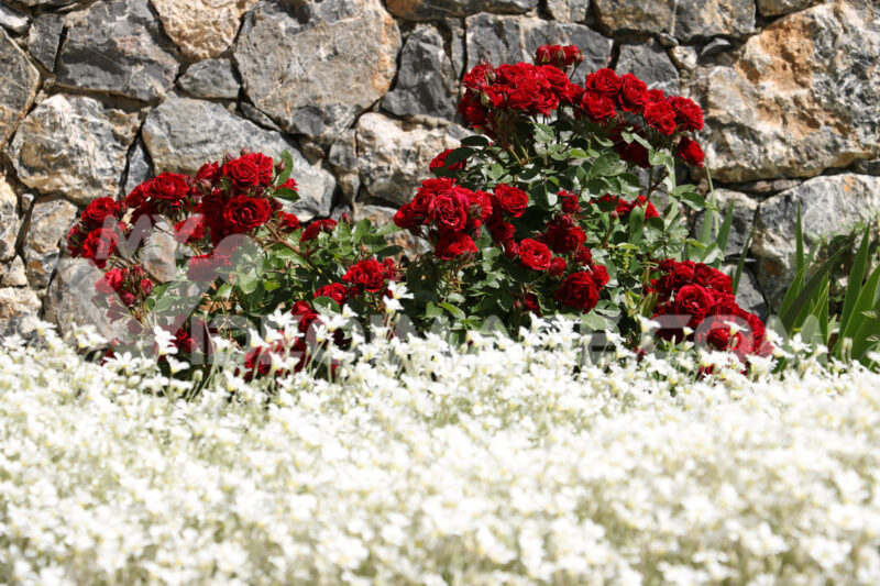 Bush of red roses in front of a white-flowered cerastium meadow. In the background stone wall in a Mediterranean garden of Liguria. - LEphotoart.com