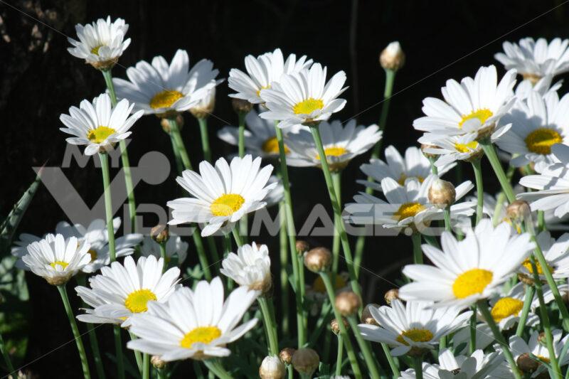Bush of white daisy flowers. Mediterranean garden. - MyVideoimage.com