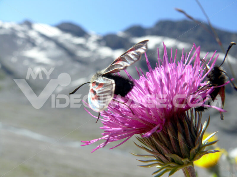 Butterflies on mountain flowers - MyVideoimage.com