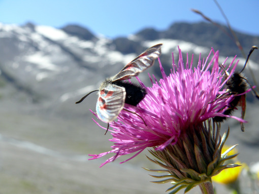 Butterflies on mountain flowers - MyVideoimage.com