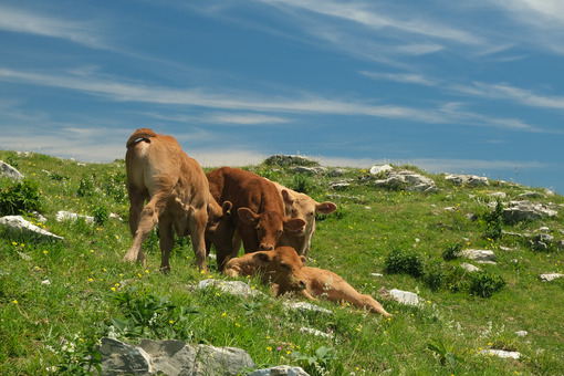 Calves with mom. Calves on a green meadow in the mountains of Tuscany.  Stock photos. - MyVideoimage.com | Foto stock & Video footage