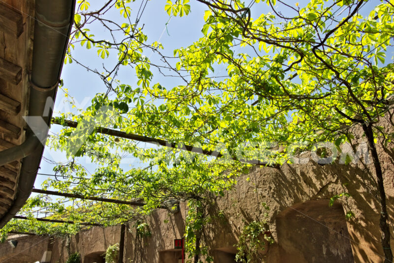Canadian vine arbor with green leaves. - MyVideoimage.com