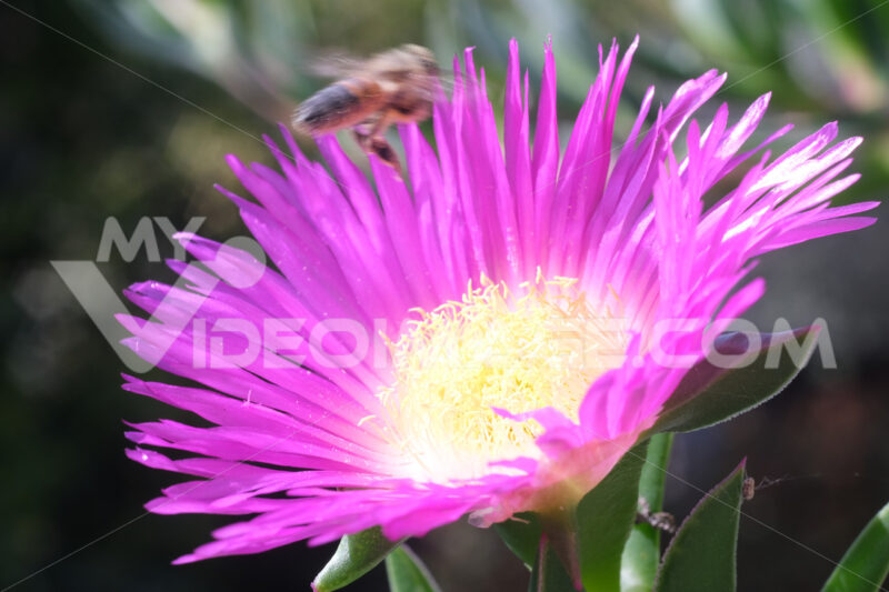 Carpobrotus flower with bee flying above. Beautiful magenta flower of succulent plant. - MyVideoimage.com