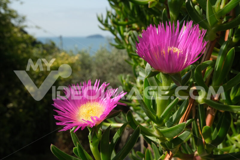 Carpobrotus flowers on the background of the Ligurian sea. Mediterranean garden with beautiful magenta succulent flowers. - LEphotoart.com