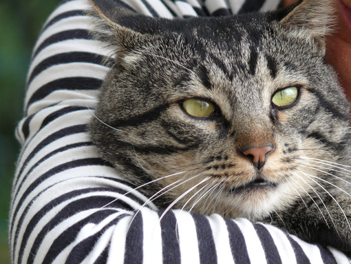 Cat's head streaked in the arms of a woman in a black and white striped dress. - MyVideoimage.com