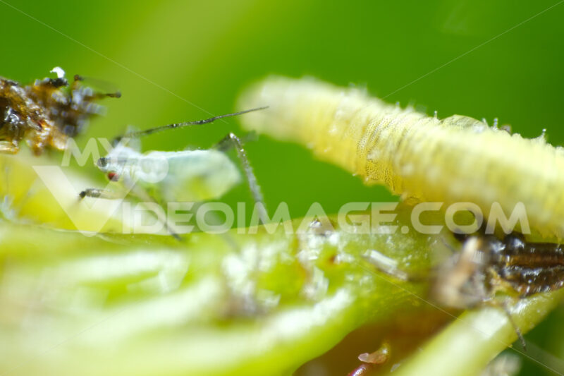 Caterpillar on a plant. Caterpillar and aphid on the petiole of the leaf. Stock photos. - MyVideoimage.com | Foto stock & Video footage