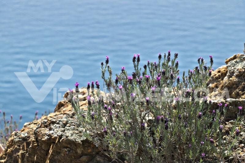 Cinque Terre, Liguria, Italy. A lavender bush with a sea background. - MyVideimage.com