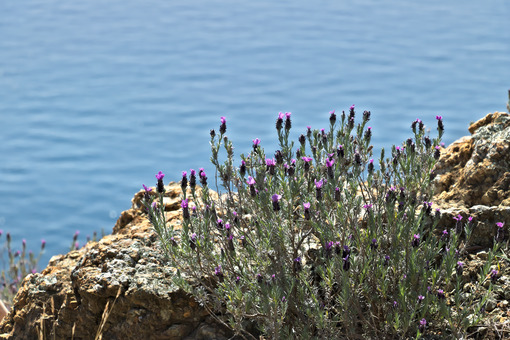 Cinque Terre, Liguria, Italy. A lavender bush with a sea background. - MyVideimage.com