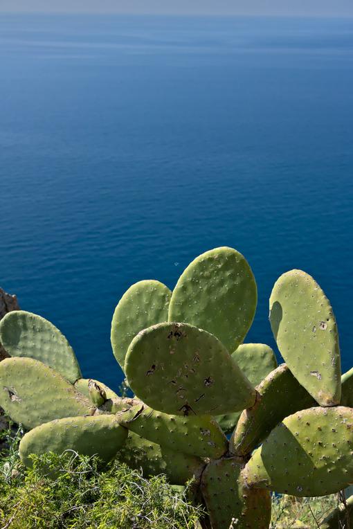 Cinque Terre, Liguria, Italy. A prickly pear cactus plant (Opuntia). - MyVideimage.com