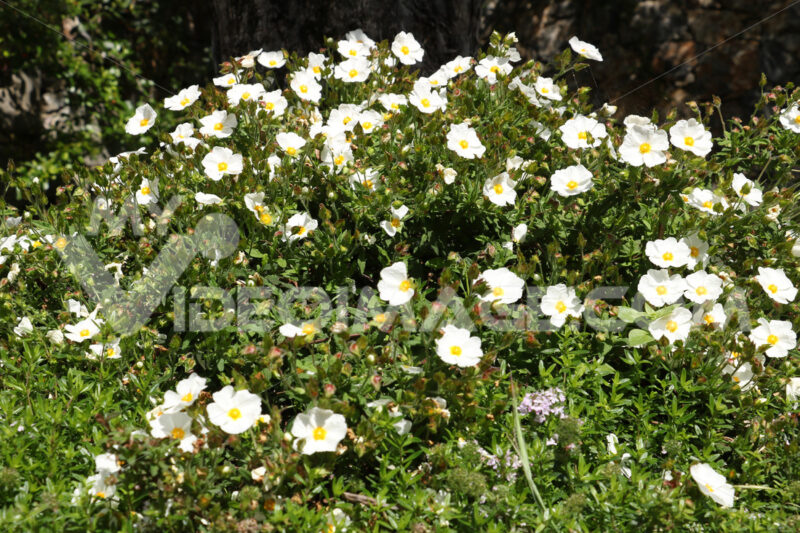 Cistus bush in bloom in a Mediterranean garden in Liguria. - MyVideoimage.com