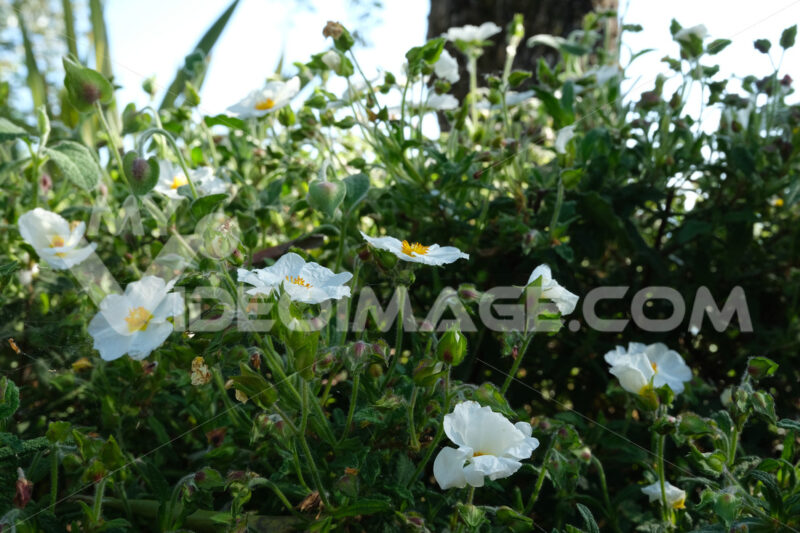 Cistus bush in bloom in a garden. Flowering with white roses typical of the Mediterranean climate. - MyVideoimage.com
