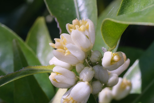 Clementine citrus flowers. Close up of fragrant flower. Foto e immagini di fiori. - LEphotoart.com