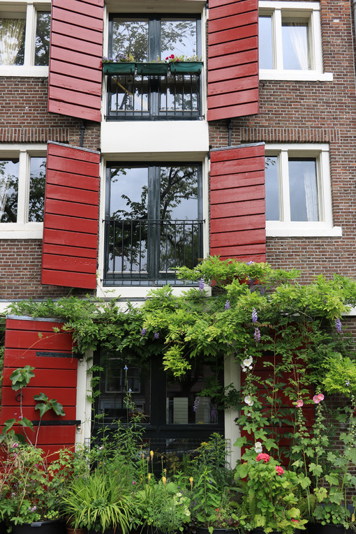Climbing plant on facade. Wisteria climbing plant on the brick facade of a house. Red flowers. Amsterdam. - MyVideoimage.com | Foto stock & Video footage
