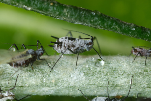 Close up aphids. Parasites on the stem of a Mediterranean plant leaf. Stock photos. - MyVideoimage.com | Foto stock & Video footage
