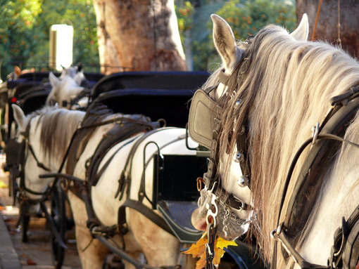 Close up of head horses. Foto Siviglia. Sevilla photo
