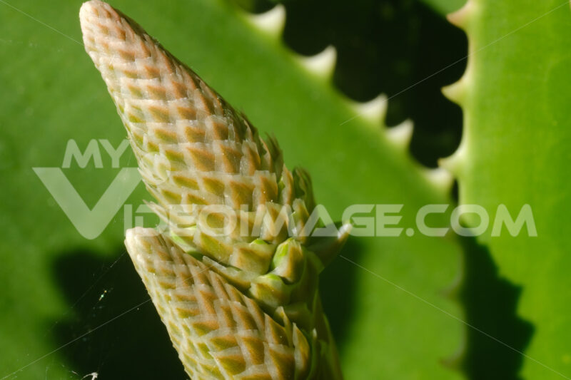 Closed flower of an Aloe Vera plant. Leaves used as natural medicines. Macro. - LEphotoart.com