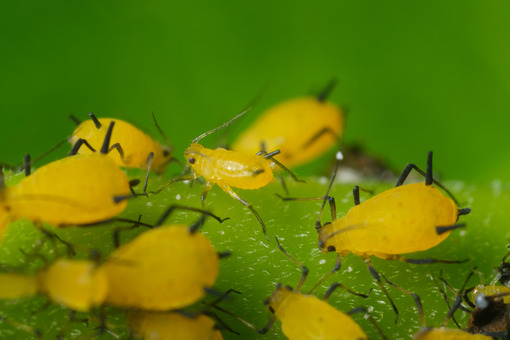 Colony of aphids. Yellow aphids suck the sap from a leaf. Stock photos. - MyVideoimage.com | Foto stock & Video footage
