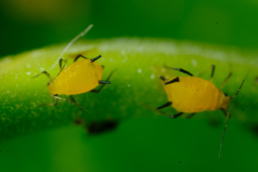 Colony of yellow aphids. Yellow aphids on a leaf suck the sap of the plant. Stock photos. - MyVideoimage.com   Foto stock & Video footage
