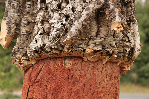 Cork oak trunk with bark removed. - MyVideoimage.com