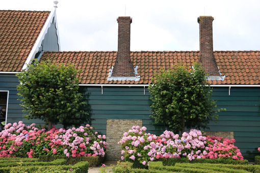 Country house. Wooden house with roof and tall red brick chimneys. Hydrangea bush with white flowers in a garden. - MyVideoimage.com | Foto stock & Video footage