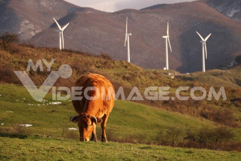 Cow grazes on a lawn in front of a row of wind generators. Foto animali. Animal photos