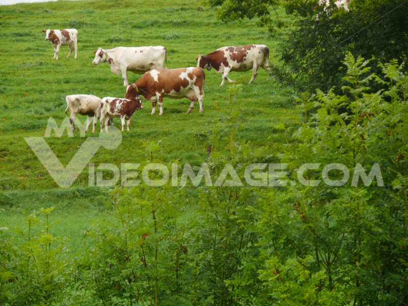Cows grazing on a green hill. Foto animali. Animal photos. Mucche