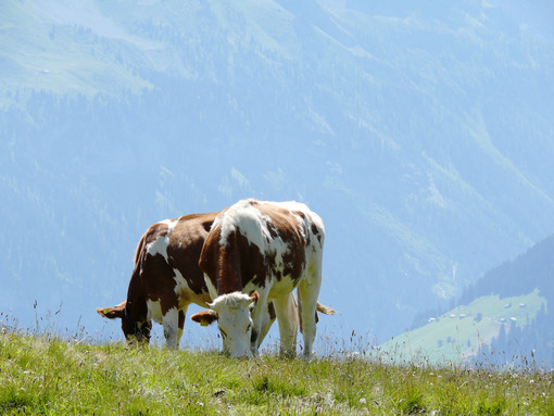 Cows grazing on a green hill. Mucche. Foto animali. Animal photos
