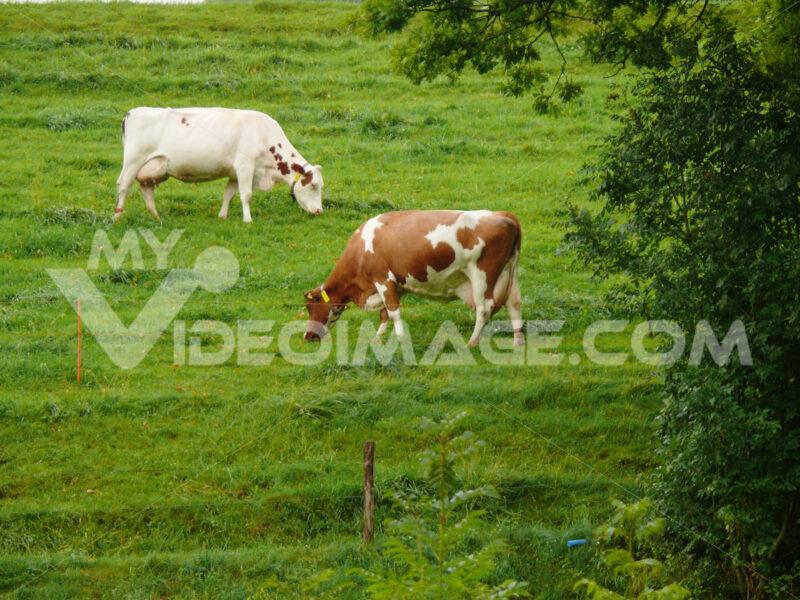 Cows grazing on a green hill. Foto animali. Animal photos - MyVideoimage.com