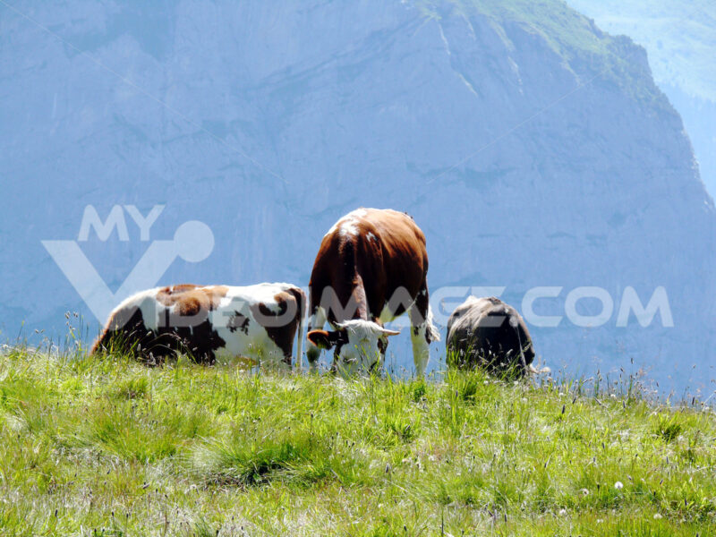 Cows grazing on a green hill. Mucche, foto animali. Animal photos - MyVideoimage.com