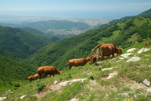 Cows on the mountains. Grazing cows in the mountains of Tuscany. Stock photos. - MyVideoimage.com | Foto stock & Video footage
