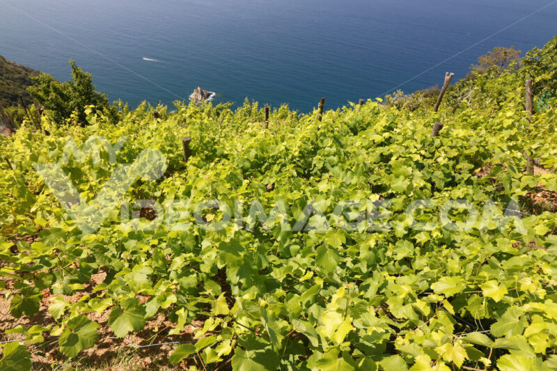 Cultivation of vines on the hills of the Cinque Terre. - MyVideoimage.com