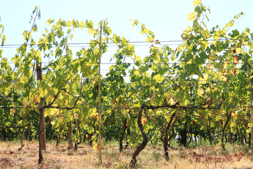 Cultivation of vines on the island of Ischia. The vineyards cult - MyVideoimage.com