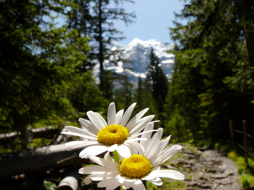 Daisies in bloom with mountains background. - MyVideoimage.com