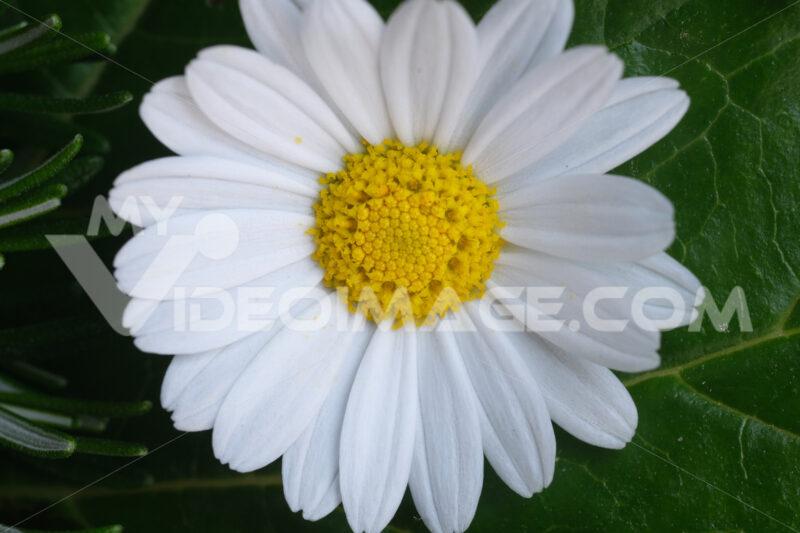 Daisy flower close up. Close up photo of daisy flower.  Stock photos. - MyVideoimage.com | Foto stock & Video footage
