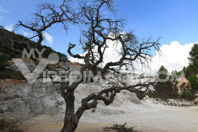 Dead oak tree in geothermal field in the town of Monterotondo. Geothermal energy in Tuscany on the metalliferous hills near Larderello. - MyVideoimage.com