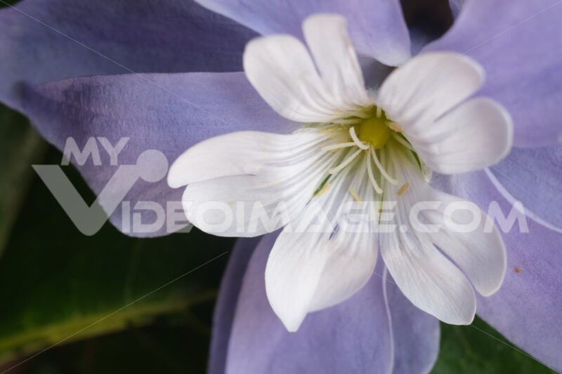 Decorazione floreale. Floral decoration with cerastium and purple periwinkle. Foto stock royalty free. - MyVideoimage.com | Foto stock & Video footage