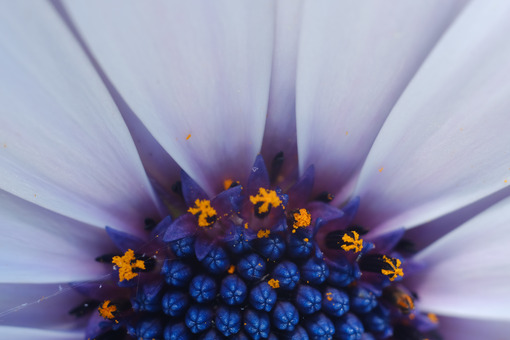 Detail of a flower of a large daisy with white petals. Flower macro photography. Immagini fiori - LEphotoart.com
