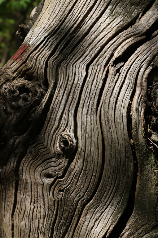 Dry trunk of an old tree with veins worn by the sun. - MyVideoimage.com