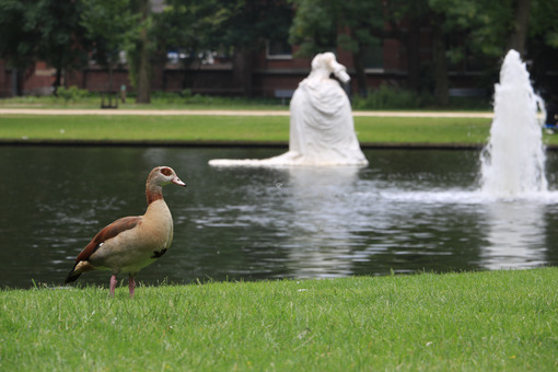 Ducks in a city park in Amsterdam. In the background a pond with - MyVideoimage.com