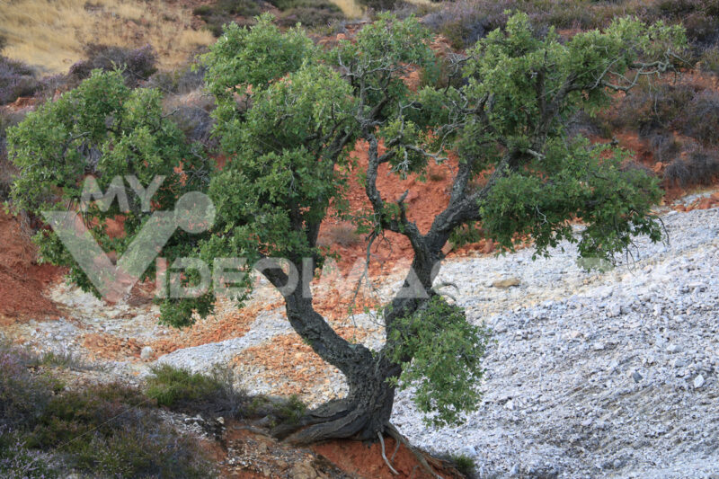 Dwarf cork oak at the Parco delle Biancane. Geothermal park with iron red colored rocks. Monterotondo Marittimo, near Larderello, Tuscany - MyVideoimage.com