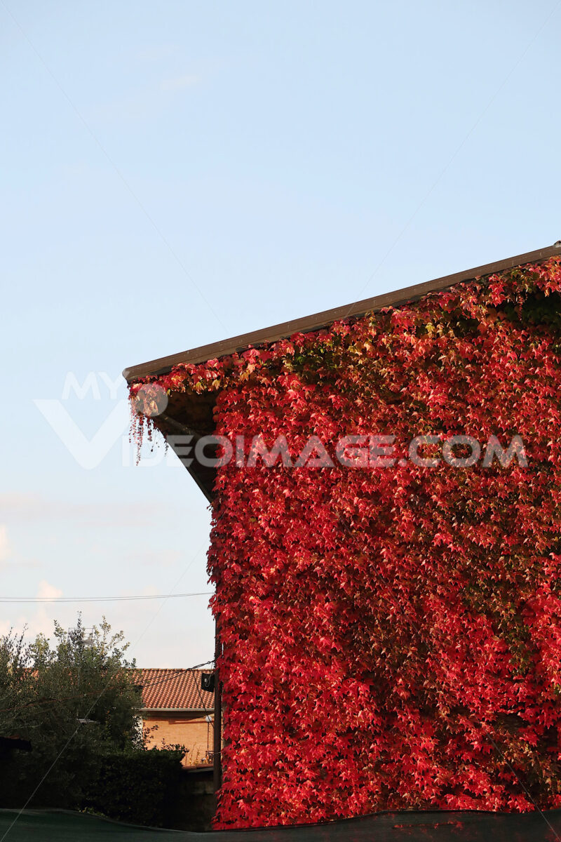 Facade of a house covered with a Canadian vine - MyVideoimage.com