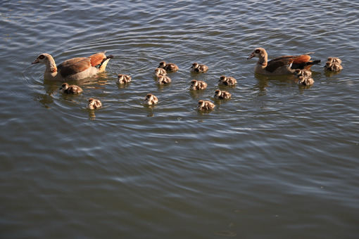 Family of ducks. Family of ducks. Two adults and many small chicks swim on the wa - MyVideoimage.com | Foto stock & Video footage